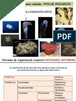 15 Metazoos Radiados Phylum Cnidarios MM