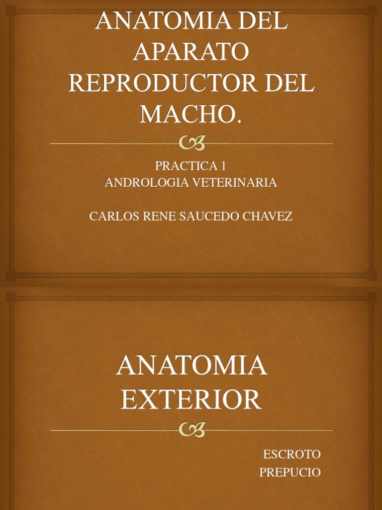 ANATOMIA DEL APARATO REPRODUCTOR DEL MACHO.pptx