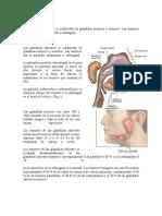 Las glándulas salivares