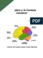 El Cerebro y La Corteza Cerebral