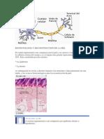 BIOTECNOLOGIA Y RECONSTRUCCION DE LA PIEL.docx