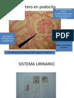 fotosdehistologiaurinario-130831180214-phpapp01