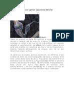 Contracción del Músculo Cardíaco.docx