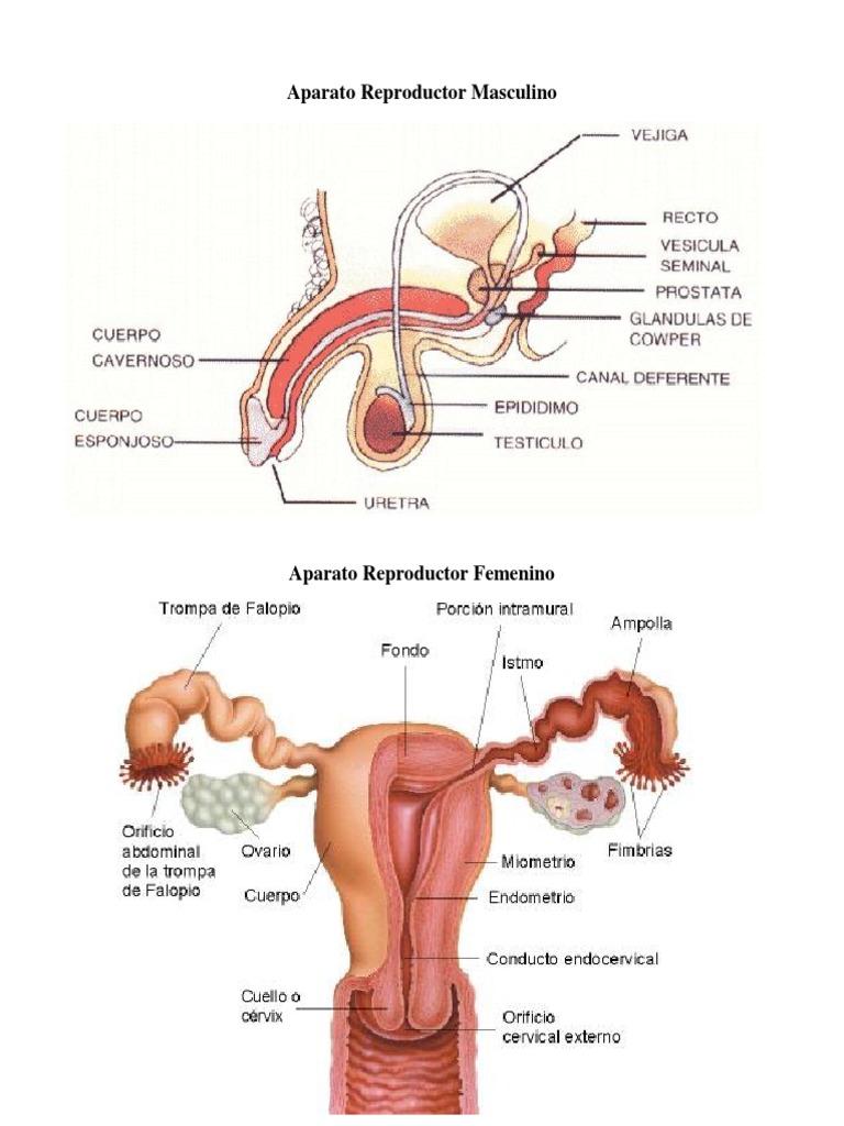 Aparato Reproductor Masculino y femenino y sus partes.docx