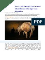 Vacas Azules Belgas