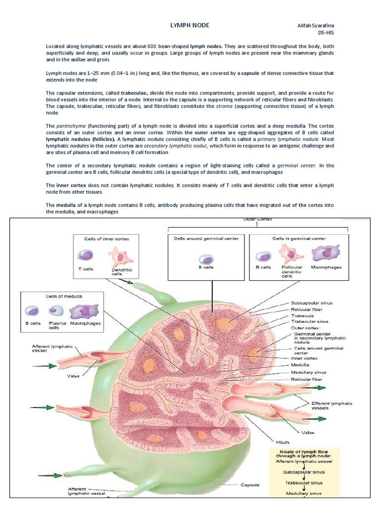 Lymph node lymph node lymphatic system ccuart Choice Image