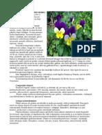 Violae Tricoloris Herba