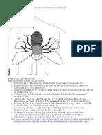 Las Características de los Insectos Adultos