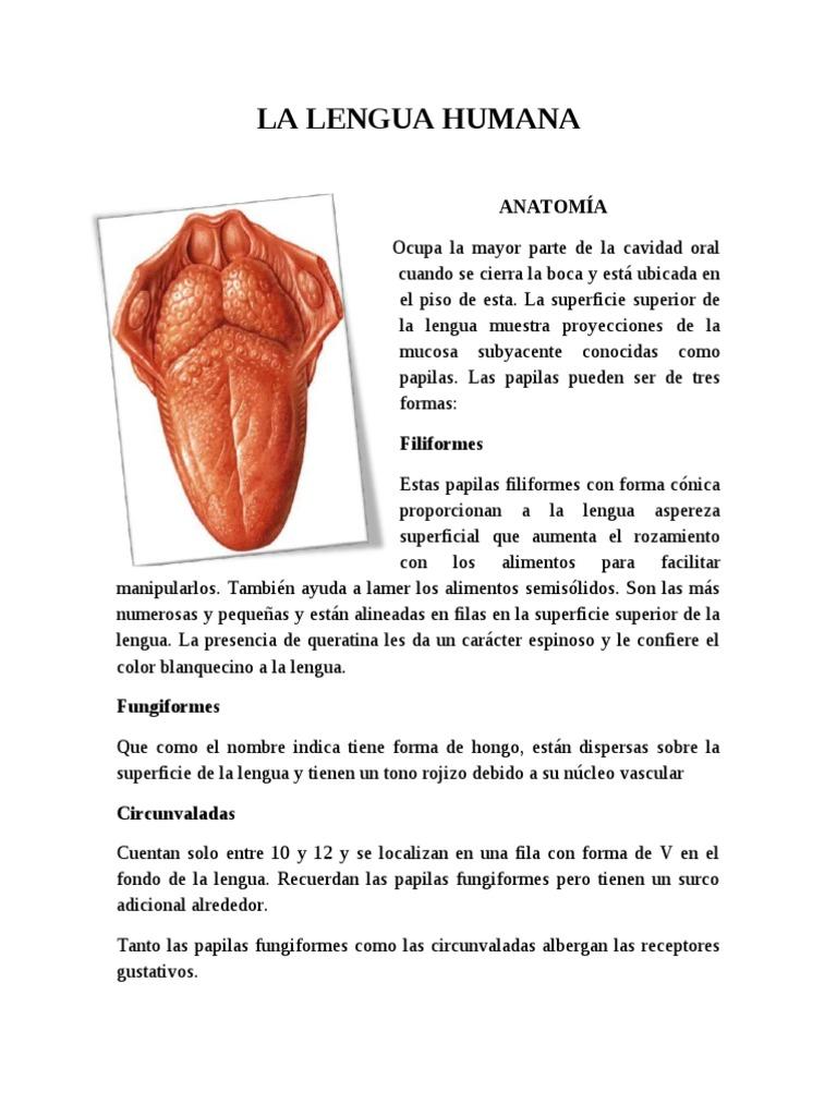 Dorable Anatomía De Las Papilas Gustativas Lengua Composición ...
