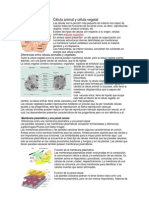 Célula animal y célula vegetal