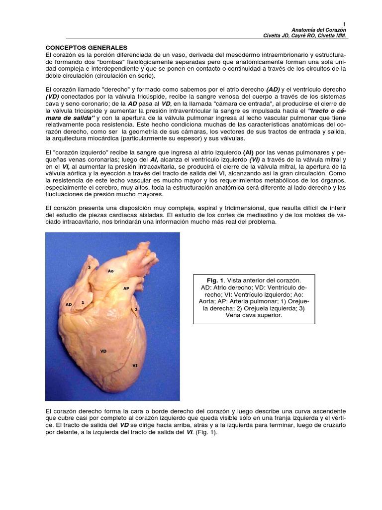Perfecto La Vena Cava Superior Anatomía Colección - Imágenes de ...