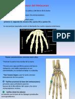 Huesos Metacarpianos y Falanges