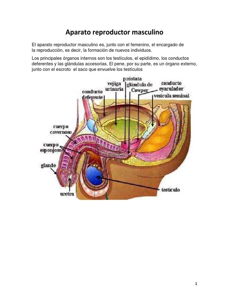 Aparato Reproductor Masculino , Femenino ,Embarazo mes a mes , y Parto