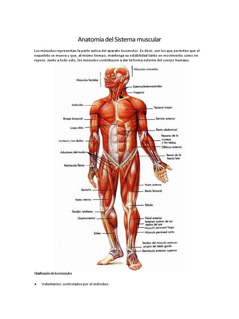 Fantástico Anatomía Muscular En Línea Componente - Imágenes de ...