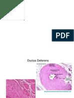 ductus defferens