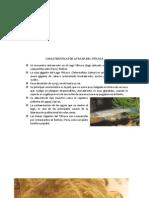 CARACTERISTICAS DE LA RANA DEL TITICACA.docx