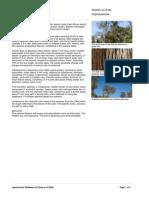 Juniperus_procera