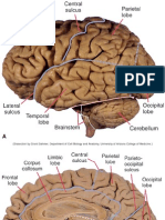 the brain anatomy