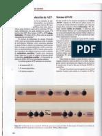 bioenergética producción de ATP
