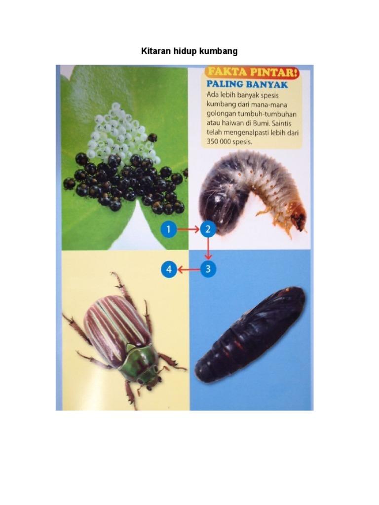 Kitaran Hidup Kumbang
