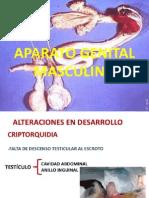 Anomalias Del Apto Reproductor Del Macho