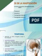 musculosdelamasticacin-101108184452-phpapp02[2]