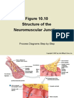 Structure of the Neuromuscular Junction