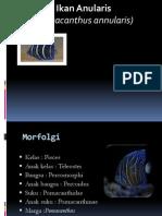 Ikan Anularis(Pomacanthus Annularis)
