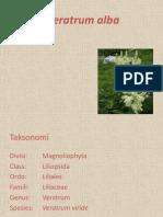 Veratrum alba.pptx