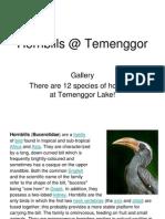 Hornbills @ Temenggor
