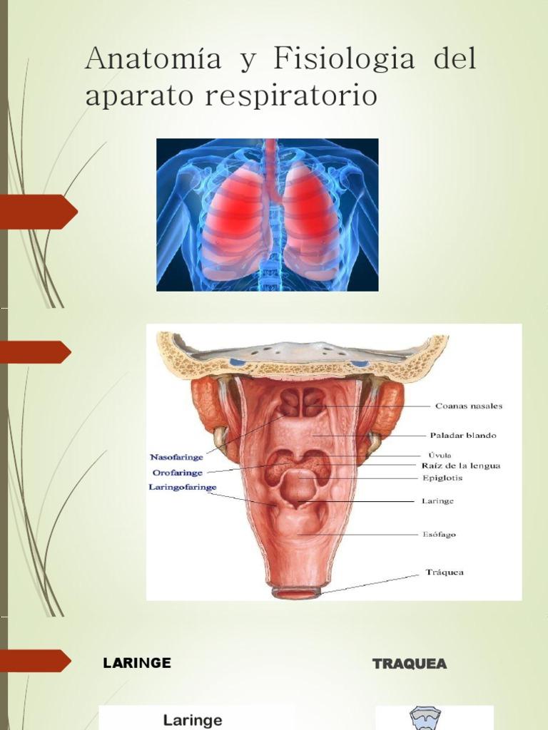 Fantástico Sistema Respiratorio Anatomía Y Fisiología Colorante ...
