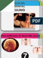 EMBRIOLOGIA APARATO MASCULINO