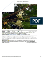 Alangium Salviifolium - Sage Leaved Alangium