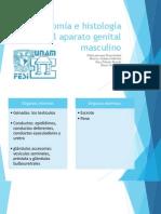 Anatomía e histología del aparato genital masculino final