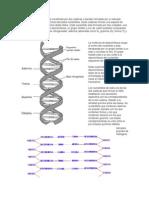 Cada molécula de ADN está constituida por dos cadenas o bandas formadas por un elevado número de compuestos químicos llamados nucleótidos