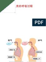 人类的呼吸过程