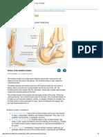 Achilles Tendon (Human Anatomy)