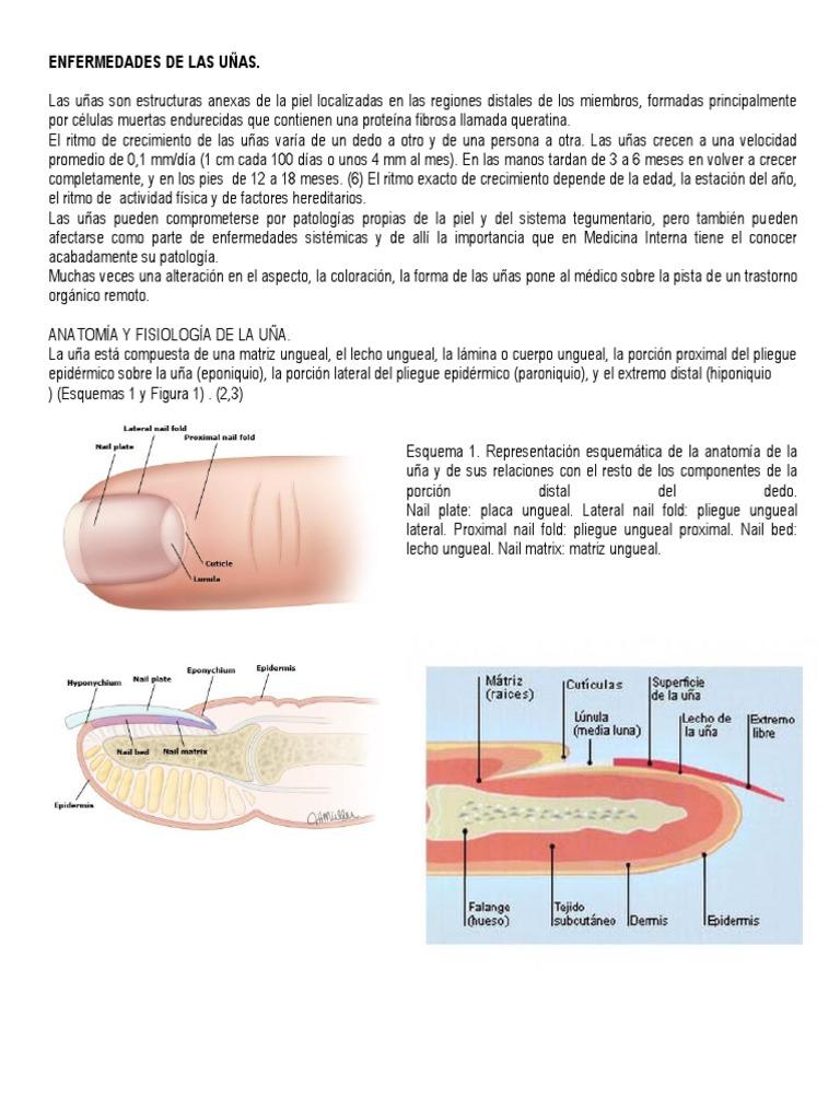 Encantador Anatomía De La Uña Del Dedo Motivo - Anatomía de Las ...