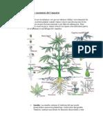 Partes y Anatomía del Cannabis