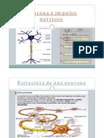 Neurona e Impulso Nervioso