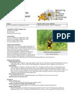 Liriomyza_huidobrensis