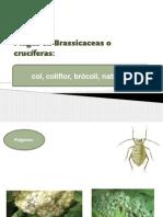 Plagas en Brassicaceas o crucíferas