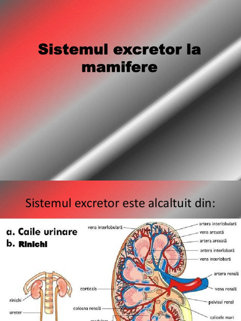 componentele sistemului excretor)
