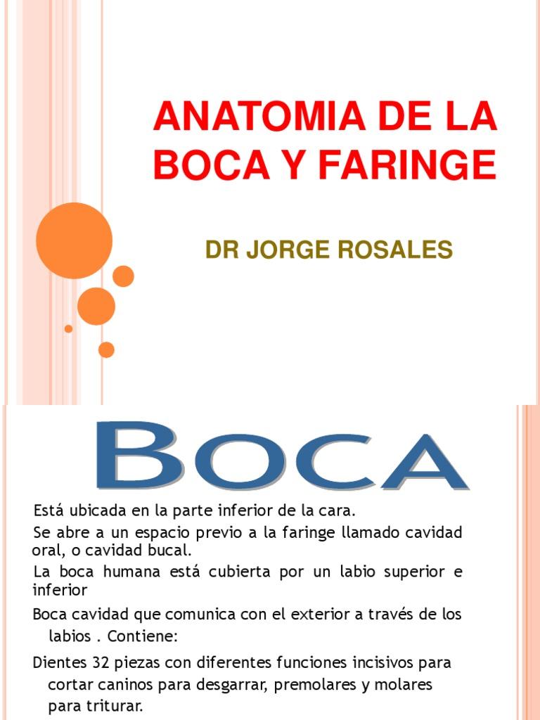 Anatomia de La Boca