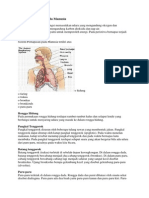 Sistem Pernafasan Pada Manusia