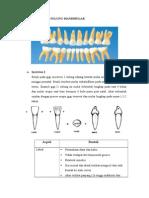 Morfologi Gigi Sulung Mandibular