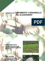 Alg-fases de Desarrollo