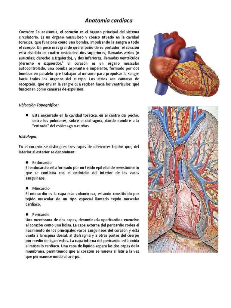 Moderno Anatomía Venosa Cardíaca Motivo - Imágenes de Anatomía ...