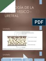 FISIOLOGÍA DE LA UNIÓN VESICO - URETRAL