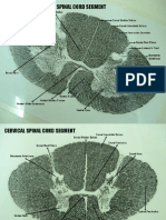 Spinal Cord.pptx